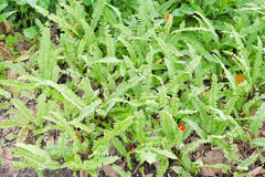 Kupukupu (Nephrolepis cordifolia) Tuber Sword Fern, is a fern in. Polystichum munitum, the western swordfern or Bright Green Tuber sword-fern (Nephrolepis Stock Photo