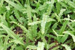 Kupukupu (Nephrolepis cordifolia) Tuber Sword Fern. Polystichum munitum, the western swordfern or Bright Green Tuber sword-fern (Nephrolepis cordifolia) or Sword Royalty Free Stock Photo