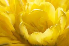 Kura ihop sig gul tulpan Fotografering för Bildbyråer