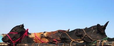 Kurbani Vieh von Bangladesh lizenzfreie stockbilder