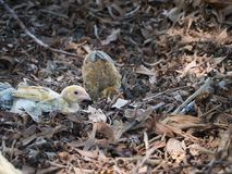Kurczątka Siedzą na Suszyliśmy liściach obraz stock
