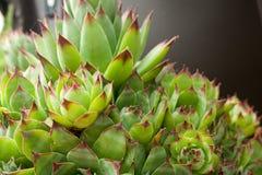 kurczątka uprawiają ogródek karmazynek rośliny sempervivum sukulentu tectorum Zdjęcia Royalty Free