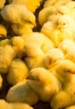 Kurczątko kolor żółty śliczny obraz stock