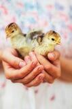 Kurczątko na ręce na białym tle Dziecko kurczak w ręce Zdjęcia Stock