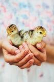 Kurczątko na ręce na białym tle Dziecko kurczak w ręce Fotografia Royalty Free