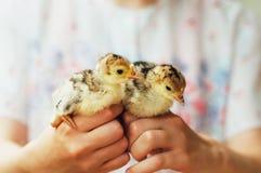 Kurczątko na ręce na białym tle Dziecko kurczak w ręce Obrazy Royalty Free