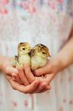Kurczątko na ręce na białym tle Dziecko kurczak w ręce Obraz Stock