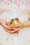 Kurczątko na ręce odizolowywającej na białym tle Dziecko kurczak w ręce Zdjęcie Royalty Free