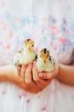 Kurczątko na ręce odizolowywającej na białym tle Dziecko kurczak w ręce Fotografia Royalty Free
