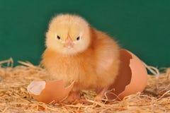 Kurczątko z Jajecznym Shell zdjęcia royalty free