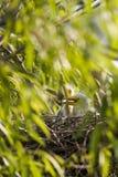 kurczątka egret Zdjęcie Royalty Free