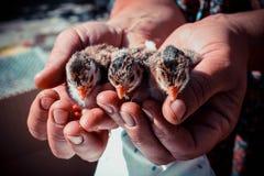 Kurczaków i kobiet ` s ręki Obraz Royalty Free
