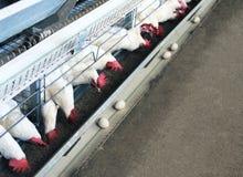 Kurczaków jajek fabryka, biali kurczaki, przemysł, kopii przestrzeń fotografia royalty free