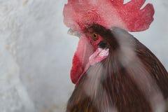 kurczaków koguty zdjęcia stock