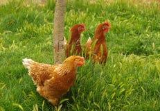 Kurczak 06 Zdjęcia Royalty Free