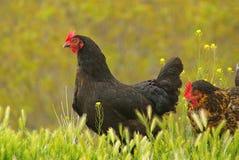 Kurczak 09 Zdjęcie Stock