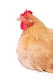 kurczak Fotografia Royalty Free