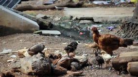 Kurczak zbiory wideo