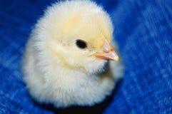 Kurczak Obrazy Stock