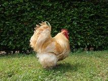 Kurczak zdjęcia royalty free
