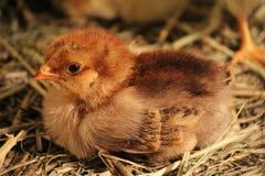 Kurczak Obraz Stock