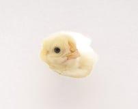 Kurczak Obrazy Royalty Free