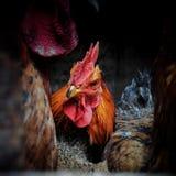 Kurczak 21 Zdjęcia Royalty Free