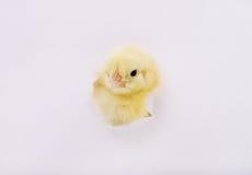 Kurczak apertura w papierze Zdjęcia Royalty Free