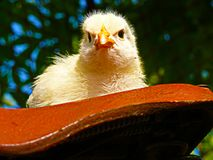 Kurczak - białego żółtego pisklęcego gallus Gallus domowy gallus f domestica Fotografia Royalty Free
