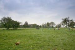 kurczak chów z wolnym wybiegiem Zdjęcie Royalty Free