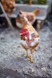 kurczak chów z wolnym wybiegiem Fotografia Royalty Free