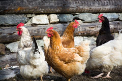 kurczak chów z wolnym wybiegiem Zdjęcia Royalty Free
