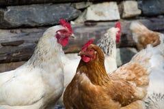 kurczak chów z wolnym wybiegiem Obraz Stock