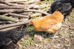 kurczak chów z wolnym wybiegiem Zdjęcie Stock