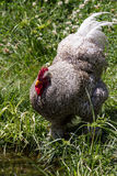 kurczak chów z wolnym wybiegiem Zdjęcia Stock