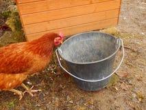kurczak chów z wolnym wybiegiem Obraz Royalty Free