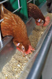 kurczak czerwień Obraz Stock