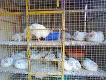 Kurczak dla sprzedaży w Morjim wiosce, Goa, India zdjęcie stock