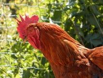 kurczak domowy Obraz Stock