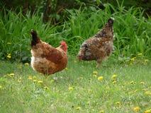 kurczak dwa Obraz Stock