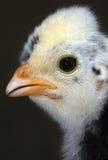 kurczak dziecka Obraz Royalty Free