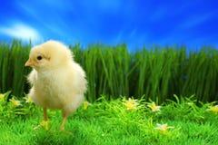 kurczak Easter mały zdjęcia royalty free