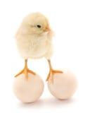 Kurczak i jajka Obraz Royalty Free