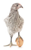 Kurczak i jajko Zdjęcia Royalty Free