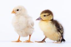 Kurczak i kaczątko Zdjęcie Stock
