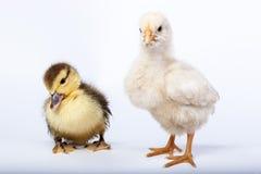 Kurczak i kaczątko Obraz Royalty Free