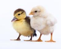 Kurczak i kaczątko Zdjęcie Royalty Free