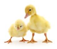 Kurczak i kaczątko Obraz Stock