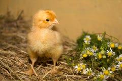 Kurczak i stokrotki Zdjęcie Royalty Free