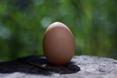 Kurczak kłaść jajka na świeżym zielonym tle Obraz Royalty Free